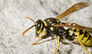 How to Repel Wasps