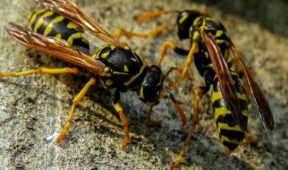 What Attracts Wasps to Your Home